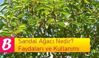 Sandal Ağacı Nedir? Faydaları ve Kullanımı